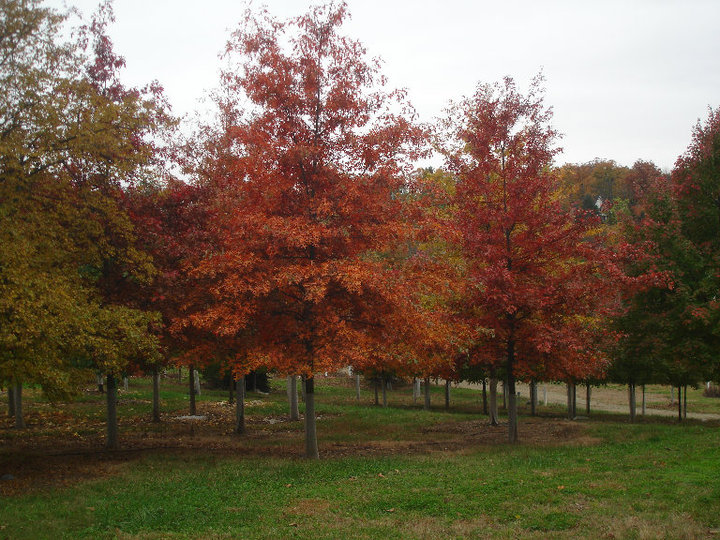 deciduous trees autumn blaze maple tree biology essay The fall blazing maple tree is a alone combination of good traits from the ruddy maple and ag maple the qualities mixed by the fall blazing maple tree are superb orangish-red colour in the autumn, dense and healthy ramification, and enhanced growing that protects from insects and disease.